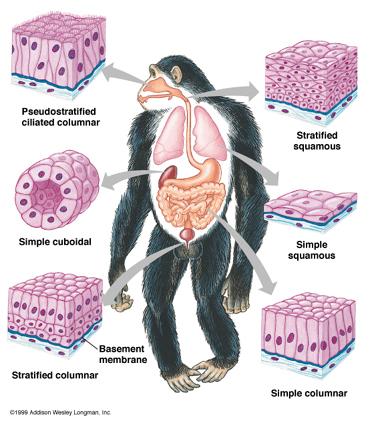Worksheets Epithelial Tissue Worksheet epithelial tissues