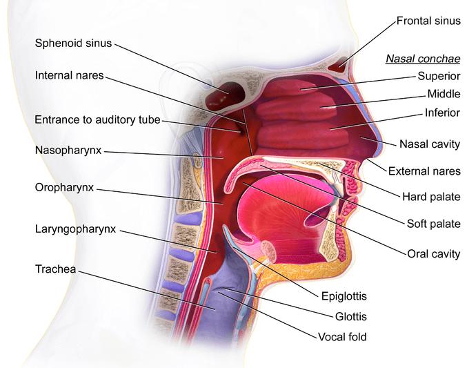 Epiglottis | Anatomy Corner