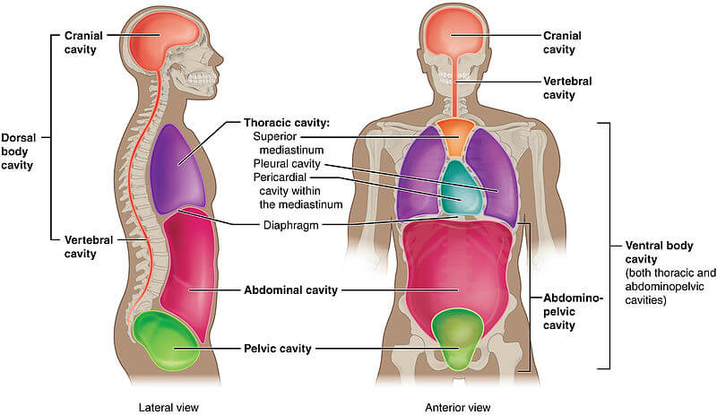 Dorsal And Ventral Body Cavities Anatomy Corner