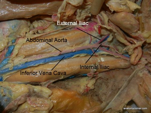 major arteries and veins of the cat