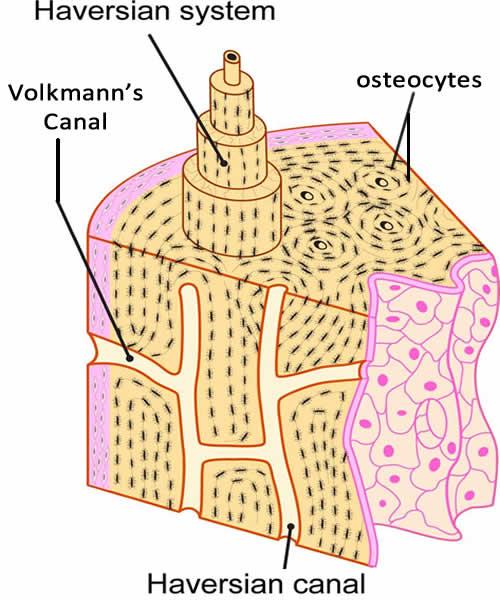Osteocytes And The Bone Matrix Anatomy Corner