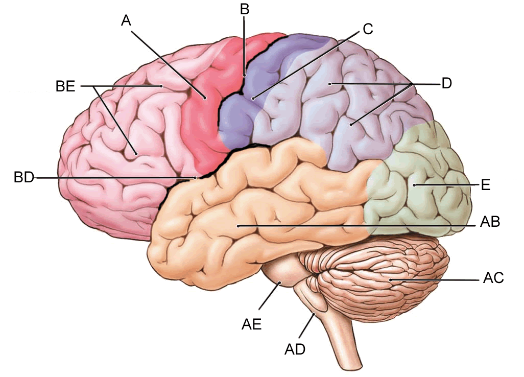 Label the Brain | Anatomy Corner