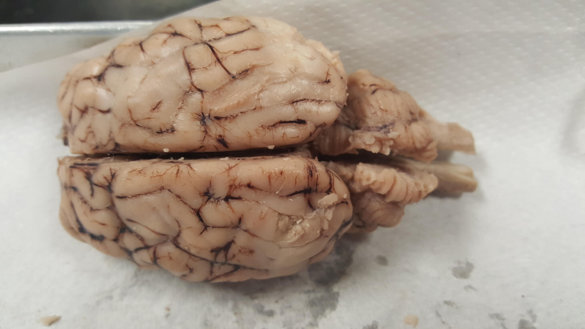 Sheep Brain Dissection | Anatomy Corner