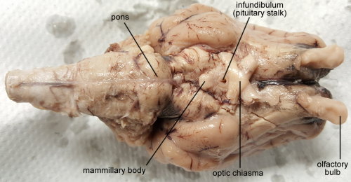 brain-sheep-chiasma-1280px-labeled.fw