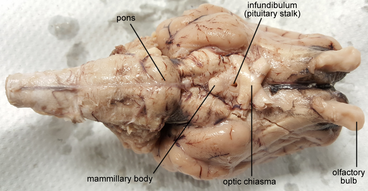 Sheep brain dissection anatomy corner ccuart Image collections