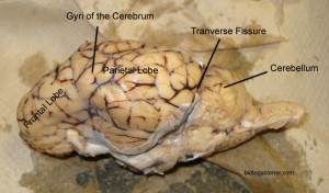 Lobes of the Brain, Fissures