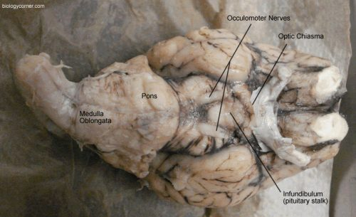 Underside of the Brain, Labeled