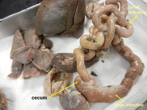 cat_intestine_cecum_L