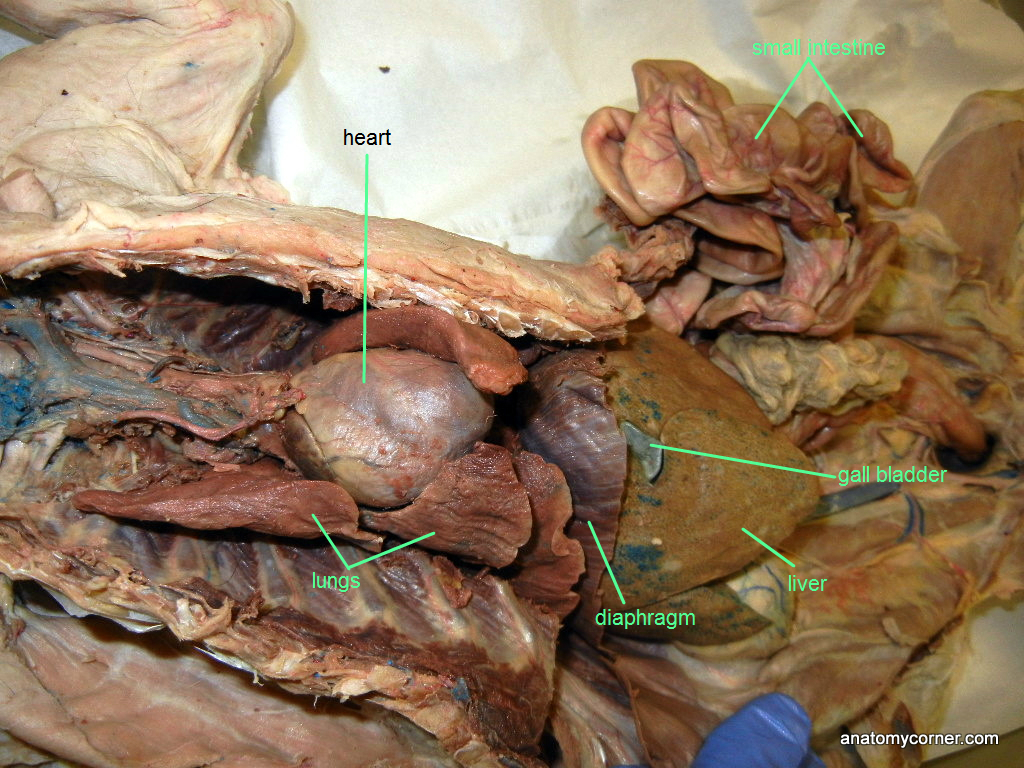 Cat Dissection on ventral body cavity blank diagram