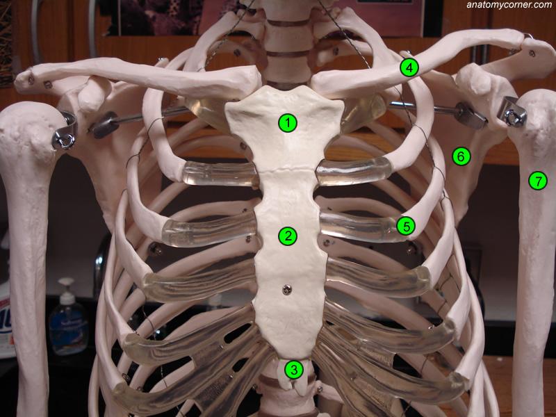 Bones | Anatomy Corner