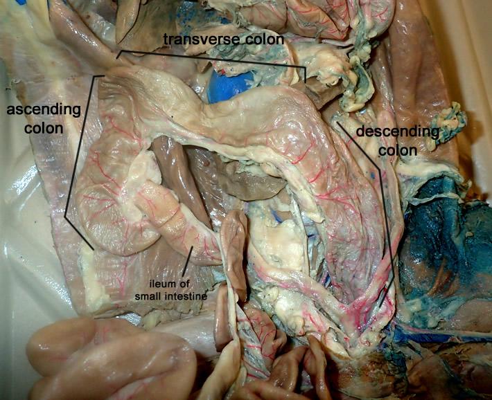 Large Intestine (Colon) | Anatomy Corner