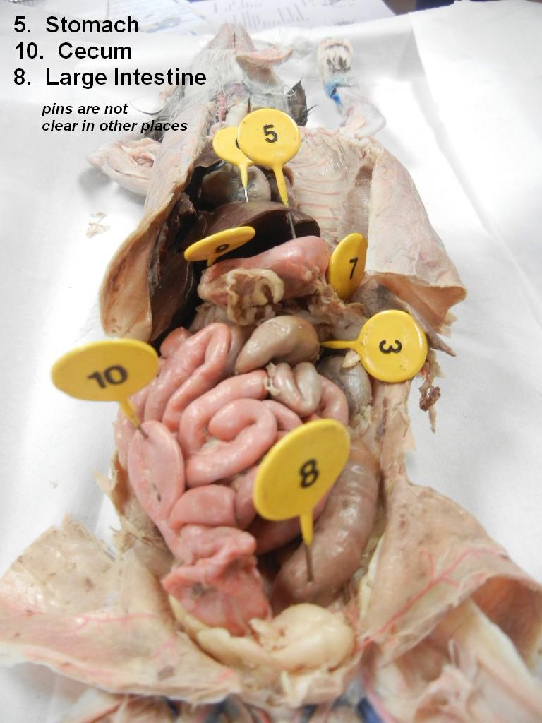 Cat Dissection   Anatomy Corner