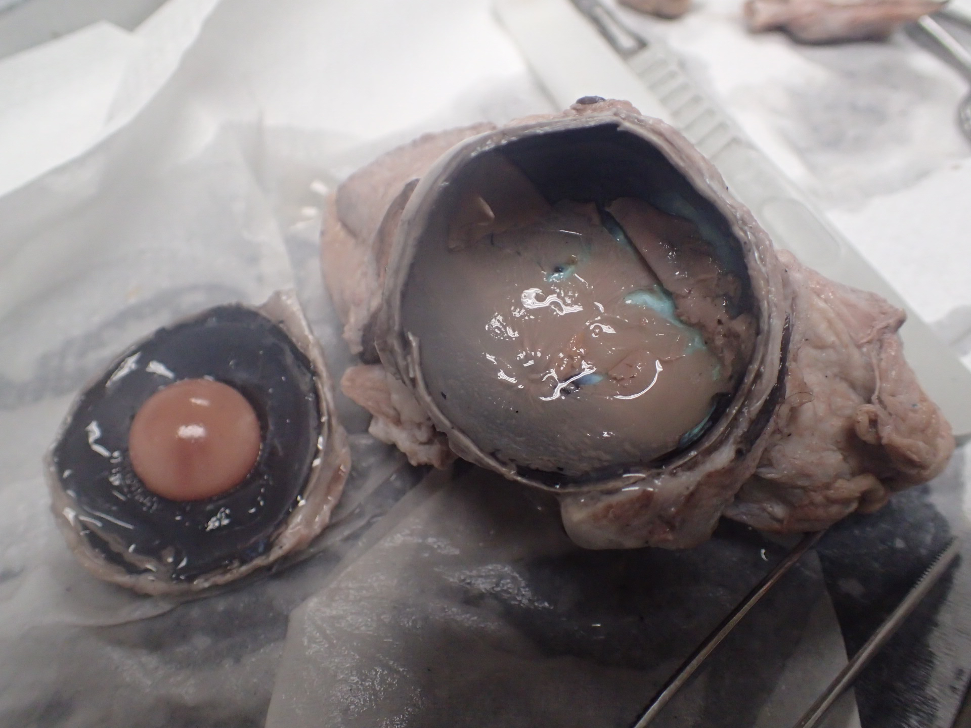 Cow Eye Dissection | Anatomy Corner