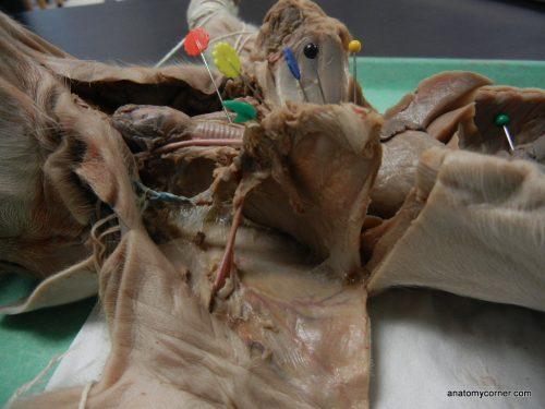 fetal_pig_trachea (2)