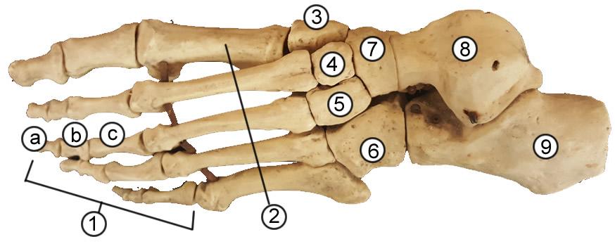 Bones Of The Foot Quiz Anatomy Corner