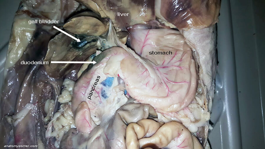 The gall bladder and bile duct anatomy corner the image below shows the gall bladder and the duodenum which are both stained green due to the presence of bile ccuart Image collections