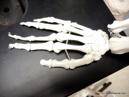hand_metacarpals
