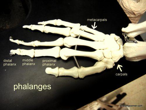 hand_metacarpals _labeled