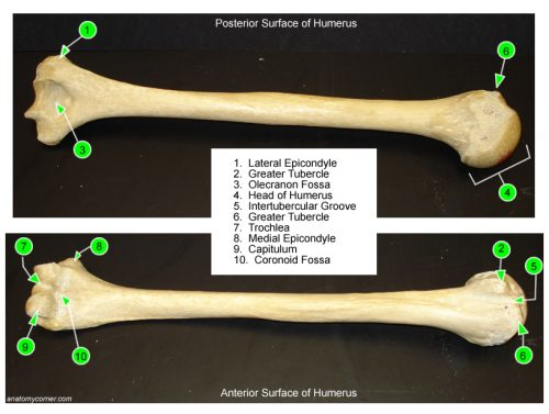 Humerus Labeled