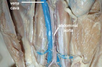 atlas and axis  anatomy corner