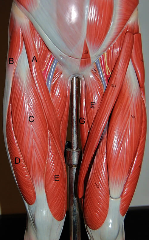 Muscles Of The Leg Human Anatomy Corner