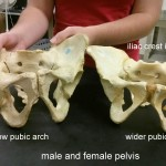 male_female_pelvis_explained
