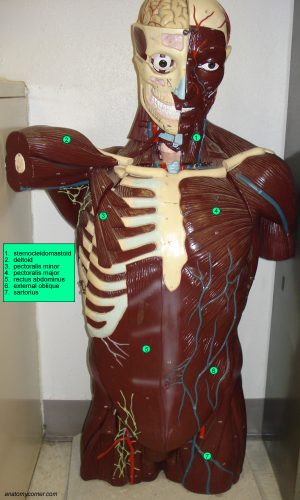 Muscles of the Chest labeled