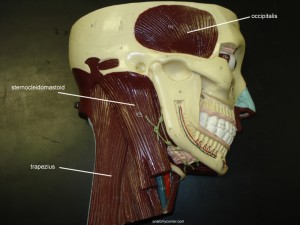 Muscles of the Neck labeled
