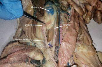 uterine horn