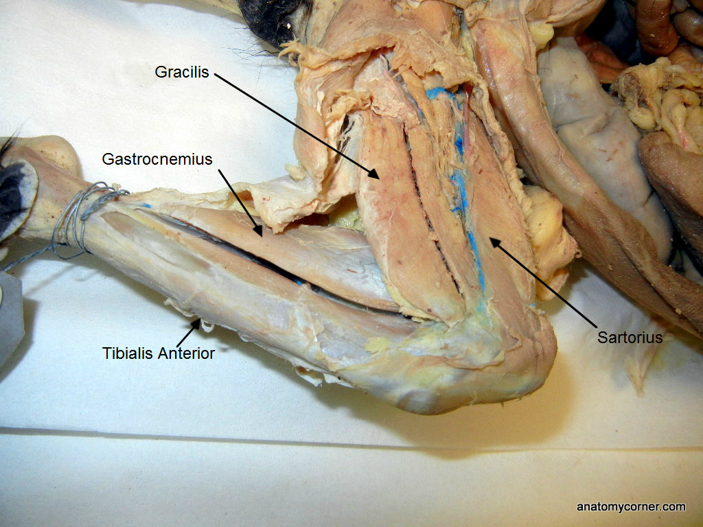 Cat Muscles Dissection Anatomy Corner
