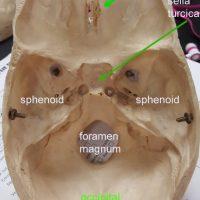 skull-internal