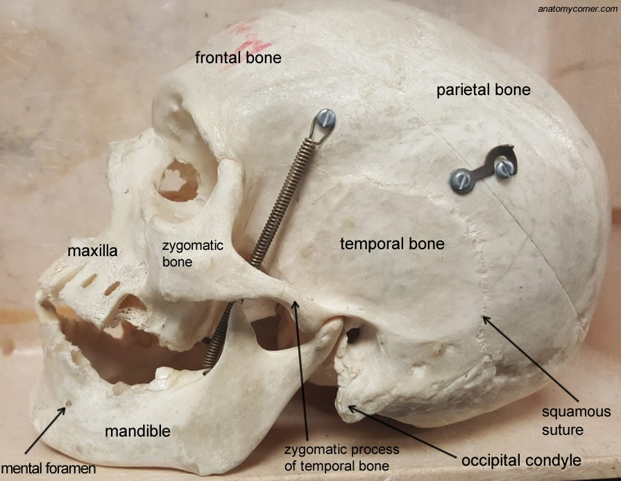Skull Zygomatic Bone Anatomy Corner