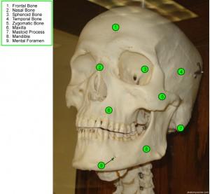 skull_anterior_labeled