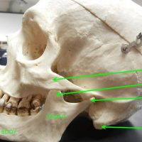 skull_mandible_featured