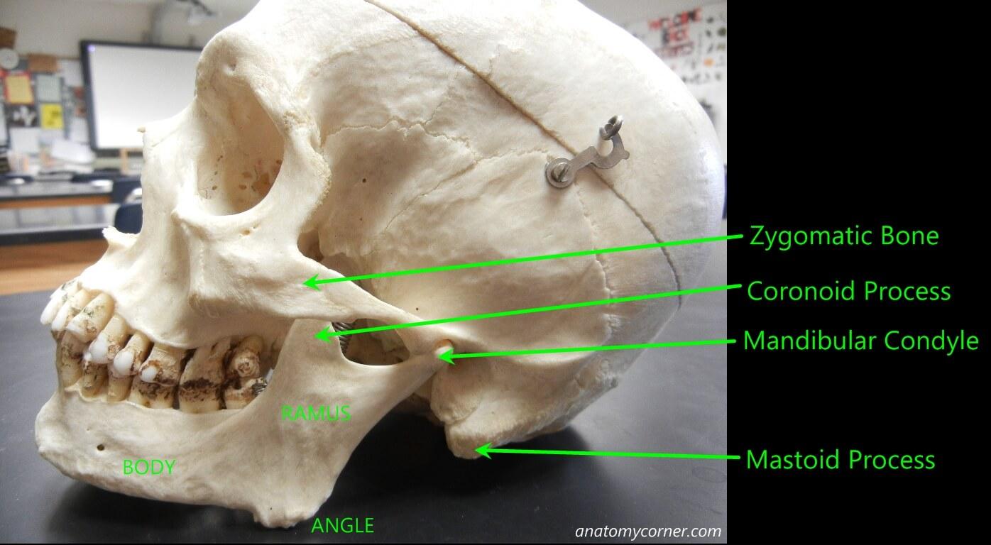 Skull Mandible Anatomy Corner