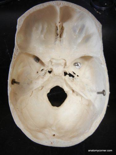 skull_sphenoid