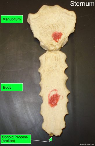 sternum_labeled