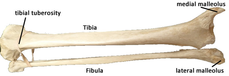 Fibula — Latest News, Images and Photos — CrypticImages