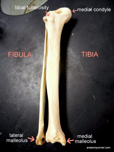 tibia_fibula_labeled