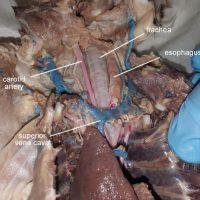 trachea-esophagus-labeled
