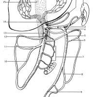 hepatic portal