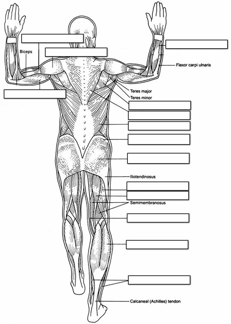 labeling muscles of the body