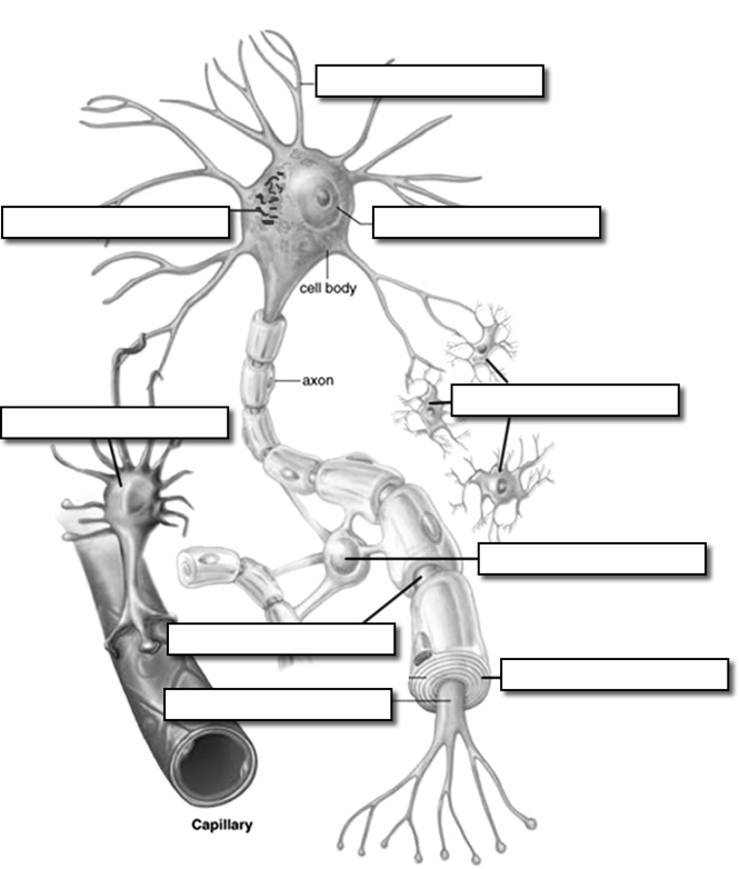 Nervous System Worksheet Answers Wikieducator