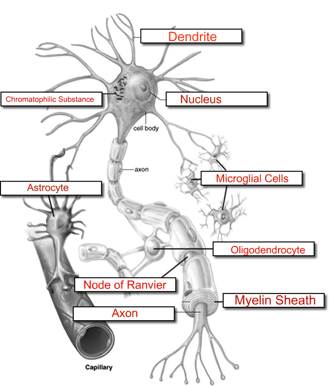 picture of labeled neuron