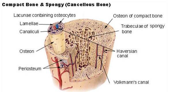 Bone Microscope